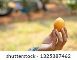 the hand is holding the plum...   Shutterstock . vector #1325387462