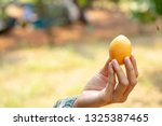 the hand is holding the plum...   Shutterstock . vector #1325387465