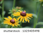 black eyed susan wildflower... | Shutterstock . vector #1325405498
