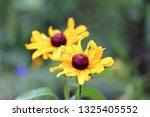 black eyed susan wildflower... | Shutterstock . vector #1325405552