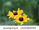 black eyed susan wildflower... | Shutterstock . vector #1325405555