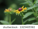 black eyed susan wildflower... | Shutterstock . vector #1325405582