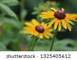 black eyed susan wildflower... | Shutterstock . vector #1325405612