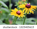 black eyed susan wildflower... | Shutterstock . vector #1325405615