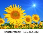 Sunflower With Blue Sky And...