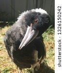 fledgling young australian... | Shutterstock . vector #1326150242