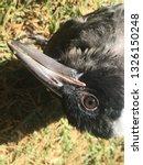 fledgling young australian... | Shutterstock . vector #1326150248