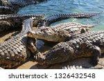 Crocodiles Bask In The Sun  Li...