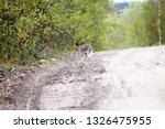 Stock photo hare on a country road in spring in evening hours of feeding and mating activity rut of hares 1326475955
