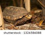 Stock photo red footed tortoise chelonoidis carbonarius walking through the undergrowth on the dark rain 1326586088