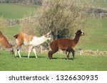 Three brown and white Alpaca Llamas in a countryside field with limestone walls, Summerbride,Nidderdale,North Yorkshire,England.