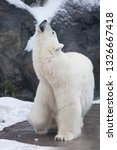 polar bear deftly bent up ... | Shutterstock . vector #1326667418