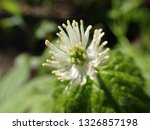 Small photo of Closeup of Goldenseal flower in sunny spring forest