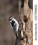 Male Downy Woodpecker Clinging...