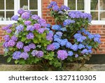 Blue Hydrangea  Bush Under The...