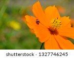 Ladybug On The Orange Flowers