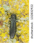 Small photo of European Oak Borer, Agrilus sulcicollus on lichen