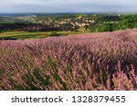 Blooming lavender field with golden evening light in Vojvodina, Serbia. Summer rural landscape, bloomfield with purple herbs. Blossoming meadow with french lavender purple flower rows.