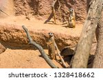 meerkat animal  latin name... | Shutterstock . vector #1328418662