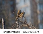 sparrows sitting on a dry vine  ... | Shutterstock . vector #1328423375