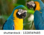 Stock photo colorful red yellow and blue macaws in parque das aves birds park n the city of foz do igua u 1328569685
