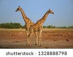 two  angolan giraffes  giraffa... | Shutterstock . vector #1328888798