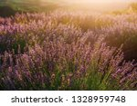 Blooming lavender field with golden evening light in Serbia. Summer rural landscape, bloomfield with purple herbs. Blossoming meadow with french lavender purple flower bushes closeup.