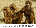 monkey from macaca   macaque... | Shutterstock . vector #1328975408