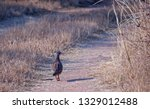 Crested Francolin In A Dirt...