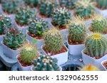 green castus in garden    Shutterstock . vector #1329062555