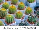 green castus in garden    Shutterstock . vector #1329062558