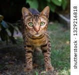 a stripy bengal pet cat... | Shutterstock . vector #1329216818