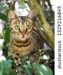 a stripy bengal pet cat... | Shutterstock . vector #1329216845