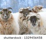 Dutch Sheep In Winter ...