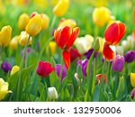 Multi Coloured Tulips And...