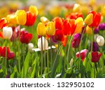 multi coloured tulips and... | Shutterstock . vector #132950102