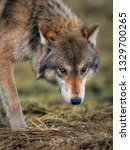 Small photo of The undeniable stare of a predator. The lone wolf focuses in on his next meal. Enjoy!! - PNQ Images