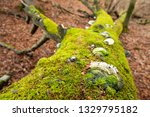 Fomes fomentarius, tinder fungus, false tinder fungus, hoof fungus, tinder conk, tinder polypore or ice man fungus on dad tree covered with moss in the forest floor.