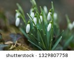 lovely snowdrop flowers ... | Shutterstock . vector #1329807758