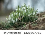lovely snowdrop flowers ... | Shutterstock . vector #1329807782