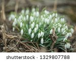 lovely snowdrop flowers ... | Shutterstock . vector #1329807788