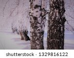morning frost painted birch... | Shutterstock . vector #1329816122
