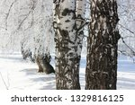 morning frost painted birch... | Shutterstock . vector #1329816125
