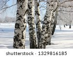 morning frost painted birch... | Shutterstock . vector #1329816185