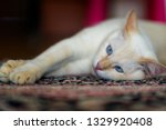 A Domestic White Cat With Blue...