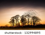 Flock Of Starlings Birds  In...