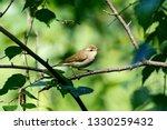 greenish warbler sitting on... | Shutterstock . vector #1330259432