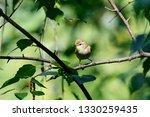 greenish warbler sitting on... | Shutterstock . vector #1330259435