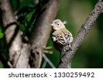 common chaffinch juvenile... | Shutterstock . vector #1330259492