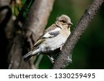 common chaffinch juvenile... | Shutterstock . vector #1330259495